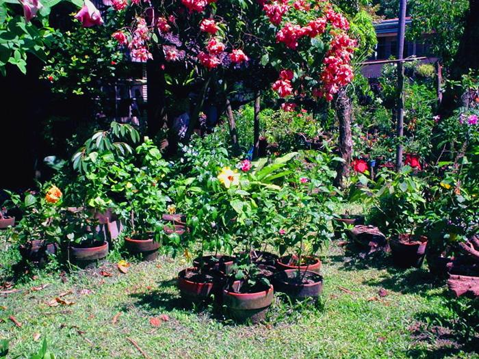 Hidden valley hibiscus worldwide hibiscus garden in the for Landscaping plants in the philippines