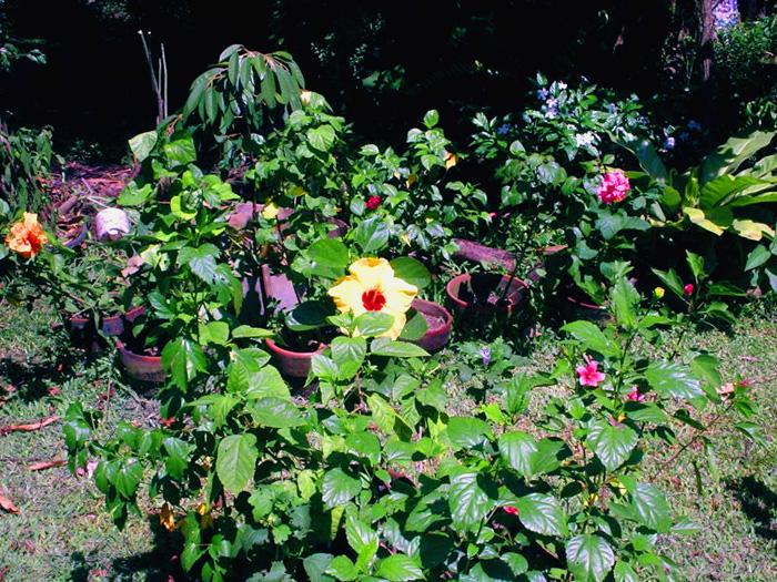 Hidden valley hibiscus worldwide hibiscus garden in the for Philippine garden plants