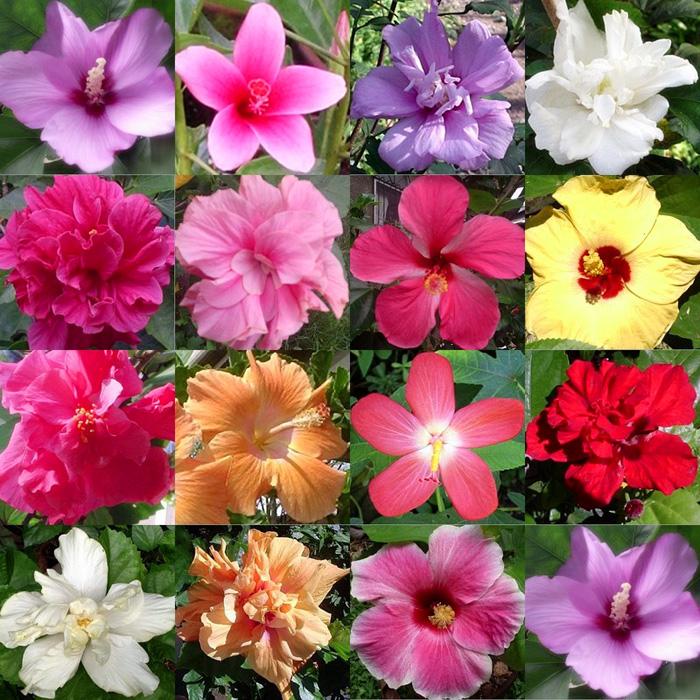 Hibiscus Varieties Pictures: Hidden Valley Hibiscus Worldwide