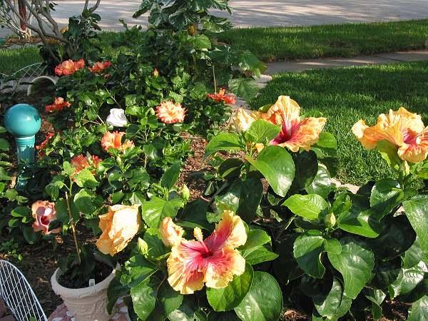 Hidden Valley Hibiscus Worldwide Hibiscus Garden In Texas